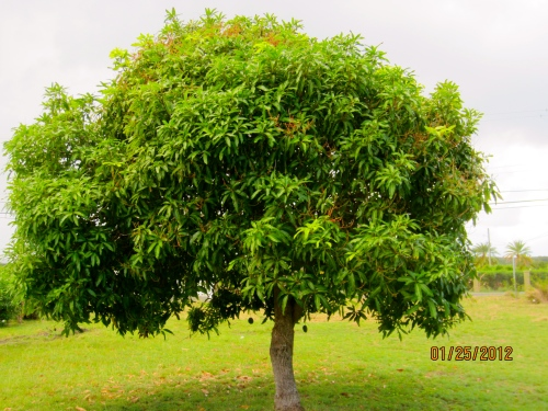 The mango tree in my yard  in Antigua.  All it needs is a wooden bench to become a sanctuary.