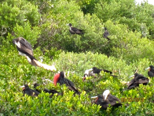 This Bird Sanctuary on Barbuda keeps the friggate birds alive and prosperous.